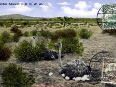 Brütender Straus in D S W Afrika