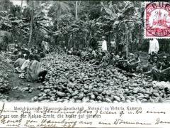 Gruss von der Kakao Ernte die heuer gut geraten