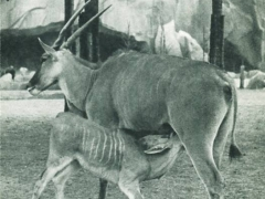 Un Elan du Cap et son petit