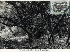 Fourre de lianes de caoutchouc