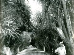Alger-Jardin-dEssai-Allee-des-Ficus