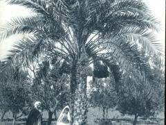 Misserghin Etude de Palmiers