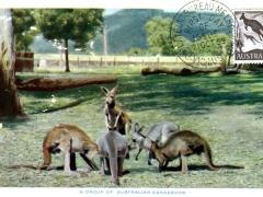a group af australian kangaroos