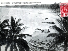 Colombo Cocoanuts palms on the seashore