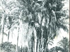 Palmiers a huile a plusieurs branches