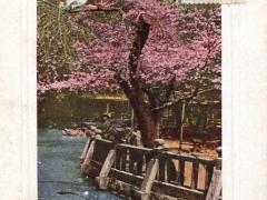 Cherry Blossoms at Shiba Park