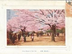 Cherry Blossoms at Uyeno Park