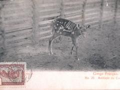 Antilope du Congo