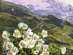 Alpen Ranunkel