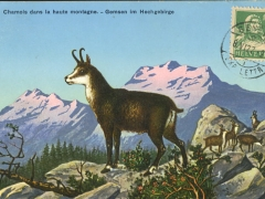 Chamois dans la haute montagne Gemsen im Hochgebirge