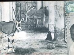 Djibouti Zebre et Gazelle apprivoises