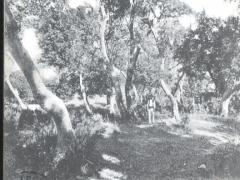 Tenerife Erica arborea