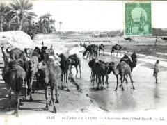 Chameaux dans l'Oued Bayech
