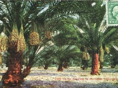 Date Palms growing in Southern California